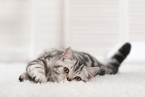 cat laying on a white carpet floor in a white room